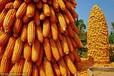 新粮贵陈粮贱今年新玉米上市跌无可跌?