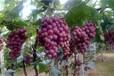 葡萄采摘哪家好买葡萄找哪家天盛园供