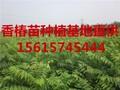 香椿苗种植出售香椿芽苗出售春芽树苗出售图片