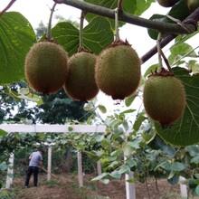 陕西眉县猕猴桃一件代发一天发货