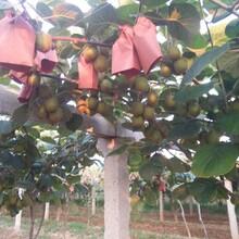 陕西眉县猕猴桃自家产,可批发可零售一件包邮