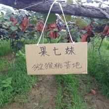 陕西眉县猕猴桃果农自产自销
