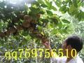 广西大红花油茶树苗价格红花油茶产量红花油茶果多大图片