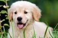 霸天犬业出售纯种健康金毛家养宠物狗