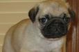 霸天犬业出售纯种健康巴哥家养宠物狗