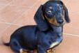 霸天犬业出售纯种健康腊肠家养宠物狗