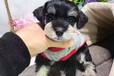 霸天犬业出售纯种健康雪纳瑞家养宠物狗