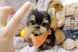 霸天犬业出售纯种健康约克夏家养宠物狗