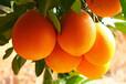 赣南脐橙批发市场