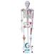 人体骨骼半边肌肉着色半边附韧带模型