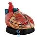 新型心脏解剖放大模型