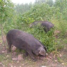 散养生态黑猪健康好味道黑猪肉登封市占全养殖专业合作社图片