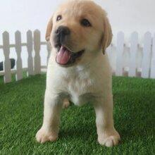 上海地区出售2个月大的拉布拉多幼犬疫苗证书齐全