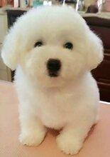 上海犬舍出售比熊幼犬证书疫苗齐全安全有保障
