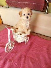 泰迪幼犬哪买得到安徽地区欢迎您质量品质有保障