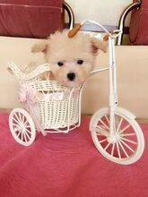上海地区出售泰迪幼犬安全有保障疫苗齐全