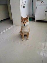 宝山地区出售柴犬幼犬有需要的过来看看健康有保障
