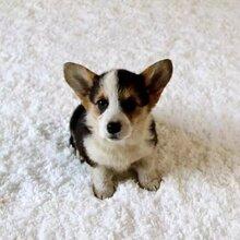 出售2个月大的柯基犬证书疫苗齐全安全有保障