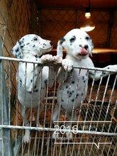 犬舍出售斑点幼犬证书疫苗齐全健康有保障