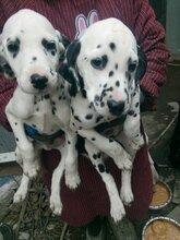 斑点哪里买上海犬舍欢迎您来挑选质量有保障疫苗齐全