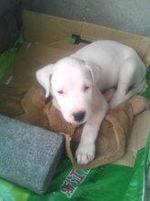 杜高幼犬哪里买上海宝山地区欢迎您健康有保障疫苗齐全