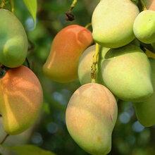 顆粒水溶肥廠家直銷,果粒豐顆粒水溶肥生根壯苗膨果壯果