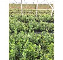 藍莓種苗栽培的必要條件