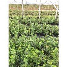 蓝莓种苗栽培的必要条件图片