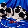 纯种七白到位边境牧羊犬直销颜色均称保