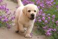 专业狗场繁殖、拉布拉多犬、加拿大血统、签协议