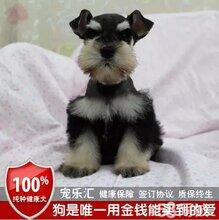 德国进口迷你型雪纳瑞犬超萌黑银雪纳瑞小狗待售疫苗驱虫作齐