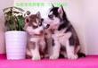哈士奇幼犬品相純正三把火雙藍眼白套袖體態完美