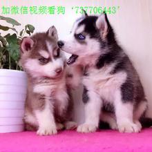哈士奇幼犬品相纯正三把火双蓝眼白套袖体态完美