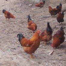 土鸡苗批发购买广西灵山土鸡苗批发上走山农牧质量好包活包疫苗技术指导