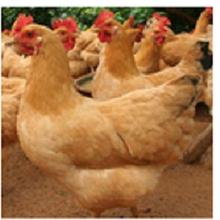 广西三黄鸡厂价直销黄脚公苗鸡苗质量好发货快提供技术指导