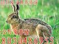 四川杂交野兔,四川杂交野兔养殖优势,四川杂交野兔生活习性,四川杂交野兔养殖基地图片