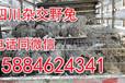 四川养殖杂交野兔销路,四川杂交野兔市场价格,四川兔子养殖