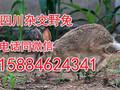 乐山杂交野兔种兔批发,乐山杂交野兔养殖基地?乐山杂交野兔市场行情?兔子养殖利润图片