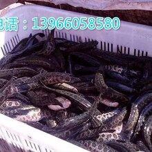 不同大小规格都有,价格公道,黑鱼苗存活率极高,长势非常快