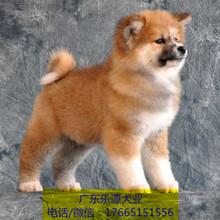 佛山日系秋田犬繁殖基地專業繁殖純種秋田支持貨到付款圖片