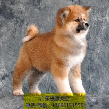 佛山日系秋田犬繁殖基地专业繁殖纯种秋田支持货到付款图片