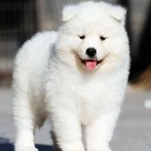 佛山萨摩耶犬繁殖基地专业繁殖纯种萨摩耶犬支持货到付款图片