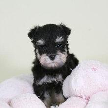 佛山雪纳瑞犬繁殖基地专业繁殖纯种雪纳瑞犬支持货到付款图片