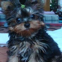 约克夏犬价格约夏克犬多少钱约克夏市场价佛山哪里有卖约克夏犬图片