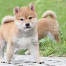 惠州柴犬犬舍哪家好惠州乐源柴犬犬舍纯种柴犬幼犬纯种柴犬价格图片
