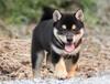 中山在哪里买柴犬柴犬多少钱一只中山柴犬价格纯种柴犬