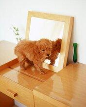 佛山哪里有卖泰迪犬佛山高明泰迪犬佛山泰迪价格纯种泰迪多少钱一只图片