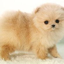 佛山买小博美犬多少钱一只佛山哪里有卖博美犬纯种博美犬价格多少佛山博美幼犬图片