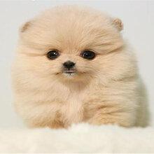 佛山高明区狗场佛山哪里有卖博美犬佛山博美犬价格多少纯种博美犬多少钱图片