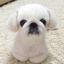 佛山哪里有卖京巴京巴多少钱一只佛山京巴价格京巴幼犬怎么卖图片